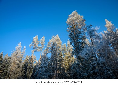 frosted forest trees, view from below