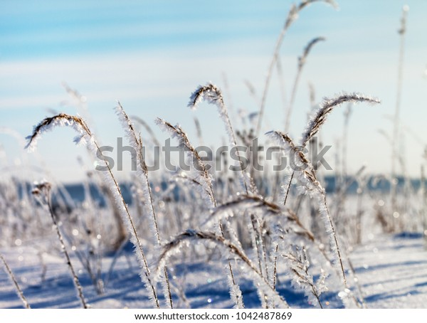 Frosted grass in cold winter day.