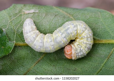 Frosted Green ( Polyploca ridens ) moth caterpillar. Sitting on a leaf.