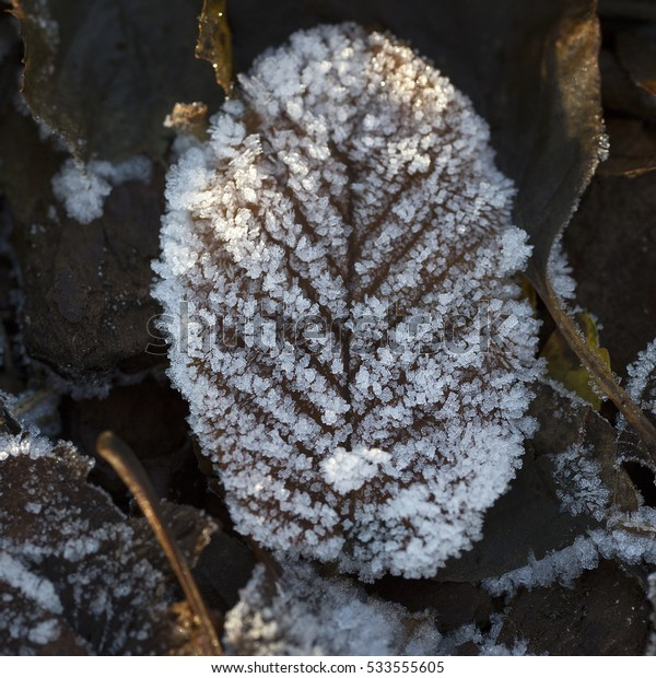 Frosted leaf of Common alder (Alnus glutinosa)