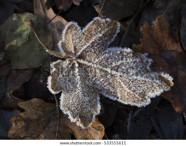 Frosted leaf of Field maple (Acer campestre)