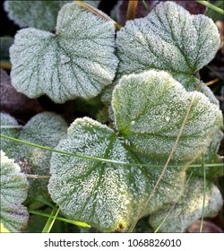 Frosted leaves after cold night