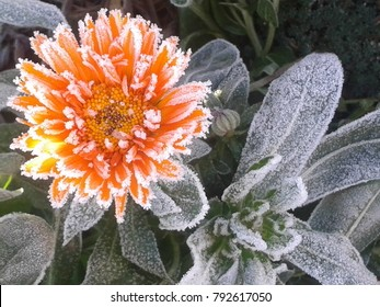 Frosted orange flower covered with snow. Beautiful frozen flower in november morning. Petals of beautiful frozen flower. Icy plant leaves frozen in winter snow & sun light. Autumn end, early frosts