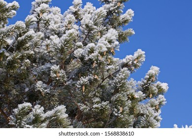 Frosted pine branches. Season: Winter 2019. Location: Western Siberia.