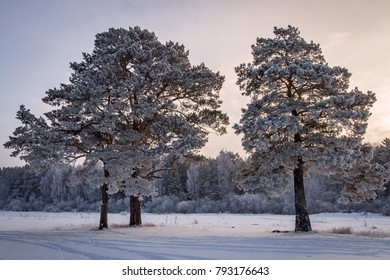 Frosted pine trees in cold winter day