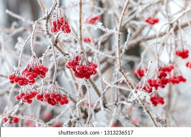 Frosted red berries of guelder rose. Hoarfrost on Viburnum opulus bunches and branches on cold winter day.