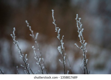 Frosted tips of grass in Vernon BC