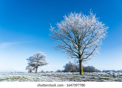 Frosted trees in field with vibrant blue sky. Perry Green, Much Hadham, Hertfordshire UK.