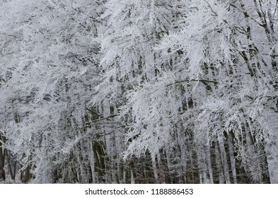 Frosted trees in the Polish  forest.
