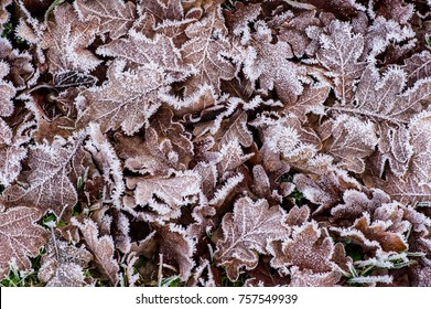 Frostnipped fallen Oakleaves on the green grass lawn