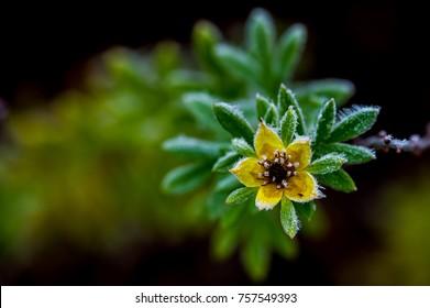 Frostnipped Shrubby Cinquefoil (Dasiphora fruticosa) a close-up with a dark defocused background