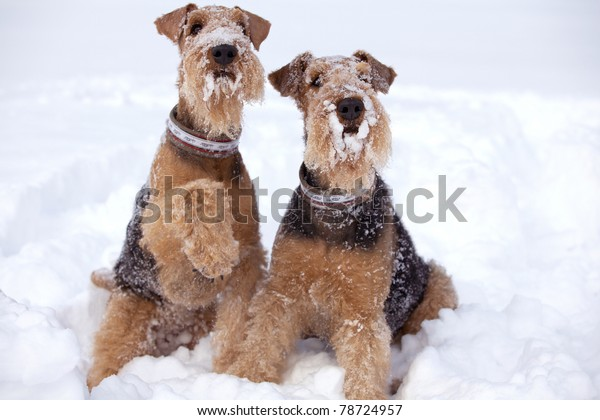 Frosty Airedale Terrier dogs in snow.