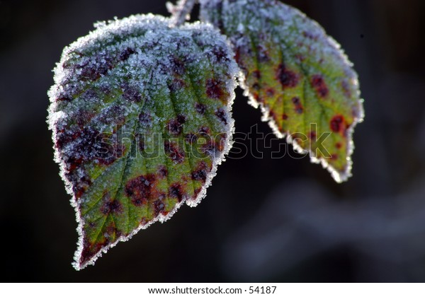 Frosty backlit leaves
