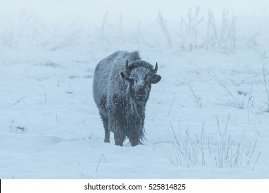 Frosty bison in the fog on a sub-zero winter morning in Yellowstone National Park, Wyoming.