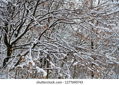 Frosty branches and trunk of the hornbeam  trees in snowy forest. Natural expressionism.