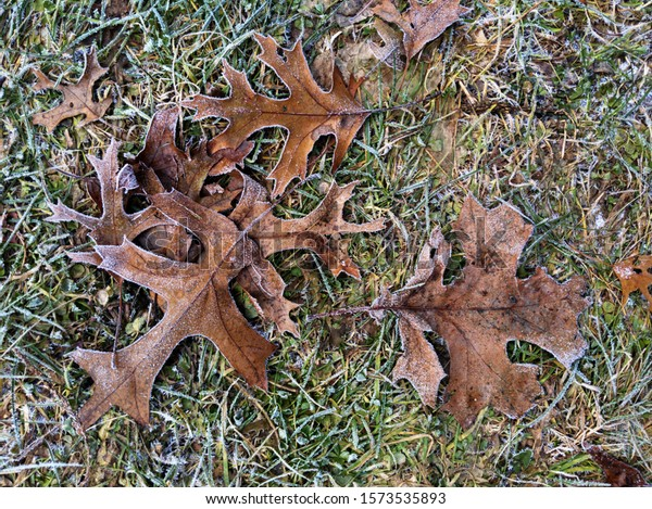 Frosty brown leaves on grass