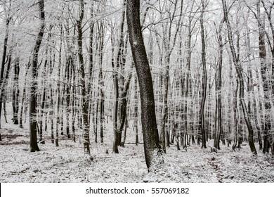 frosty calm winter forrest