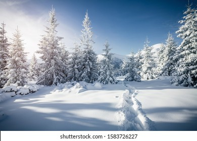 Frosty day in snowy coniferous forest. Location place of Carpathian ski resort, Ukraine, Europe. Incredible wintry wallpapers. Christmas holiday concept. Happy New Year! Discover the beauty of earth.
