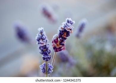 Frosty flower of lavender