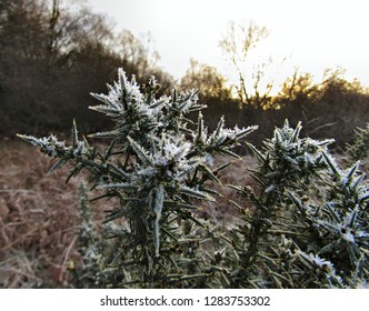 Frosty Gorse Falkirk close up