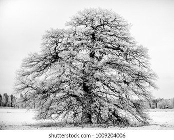 The Frosty Grand Old Oak a january day in Uppland, Sweden in B/W