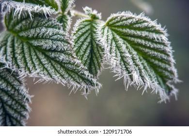Frosty green leaf