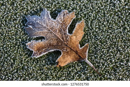Frosty Maple Leaf lying on Green Grass
