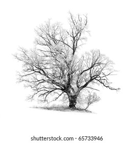 frosty oak tree with a patch of ground, isolated on white