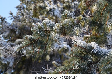 Frosty Pine Tree Needles - Hoarfrost In International Falls, Minnesota