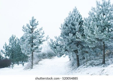 frosty pine trees at winter forest