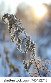 Frosty plant in the garden in winter