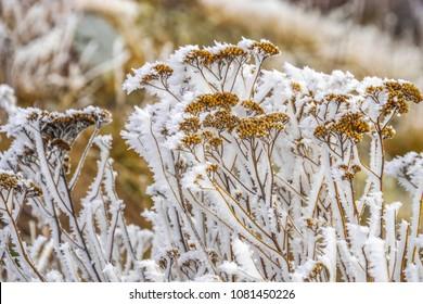 Frosty plants near Lake Pukaki, New Zealand.