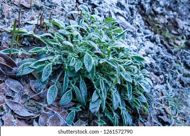 Frosty plants in winter