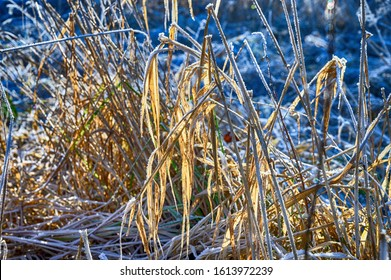 frosty reed and plants in background
