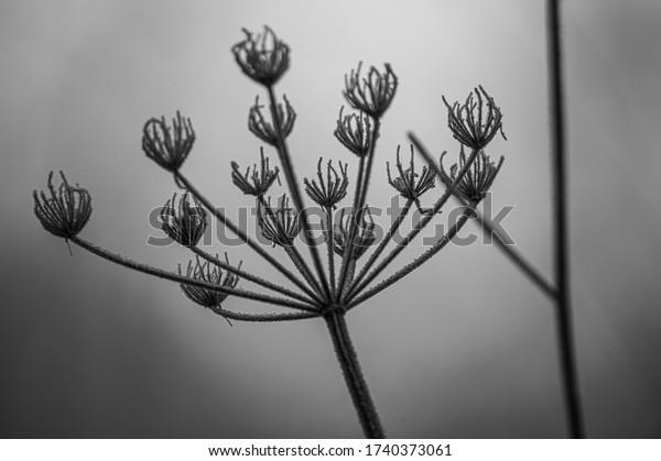 frosty seed head in silouette