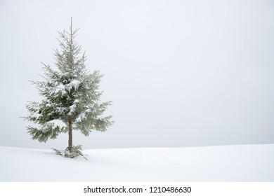 Frosty snow covered fir tree in snow as winter background with spase for text.