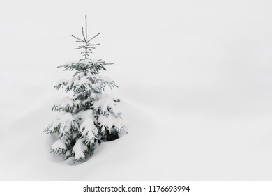 Frosty snow covered spruce tree in snow on white.