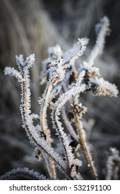 Frosty Thistle in the Highlands of Scotland.