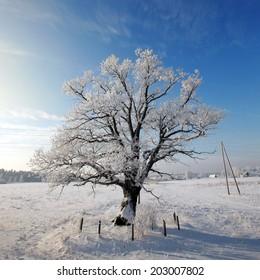 Frosty tree in snowy field on a sunny day