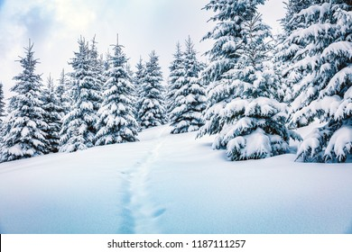 Frosty winter morning in mountain foresty with snow covered fir trees. Bright outdoor scene, Happy New Year celebration concept. Beauty of nature concept background.