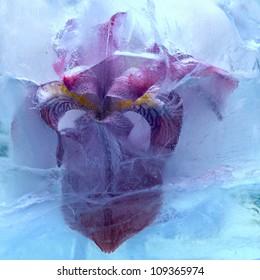 Frozen beautiful   iris flower.  blossomsin the ice cube