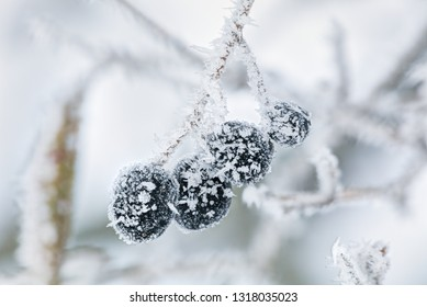 Frozen berries in early winter morning.