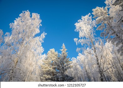 frozen birch and pine trees on blue sky background