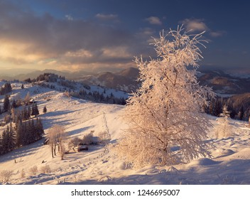 Frozen birch tree in Bukovina region. Chernivtsi oblast. Ukraine