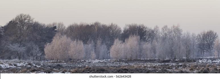 Frozen birch trees panorama