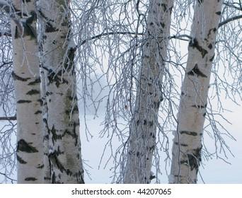 Frozen birches in winter