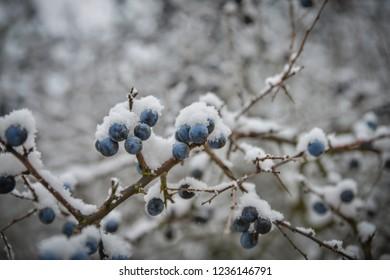 Frozen blackthorn berries