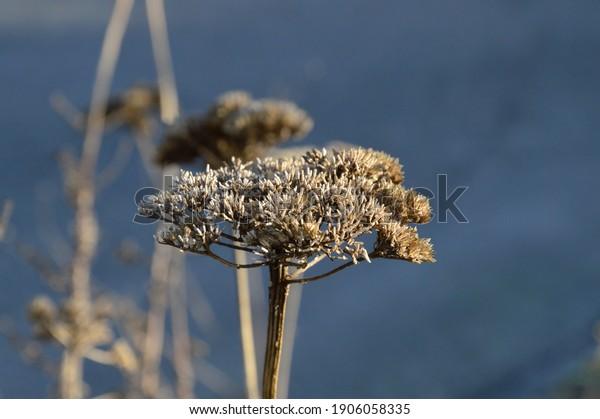 frozen-blossom-on-winter-morning-600w-19