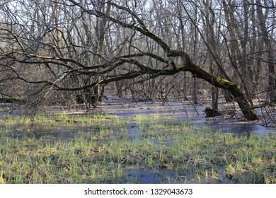 frozen bog in deep spring forest