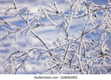 Frozen branches on the trees under the snow, note shallow depth of field